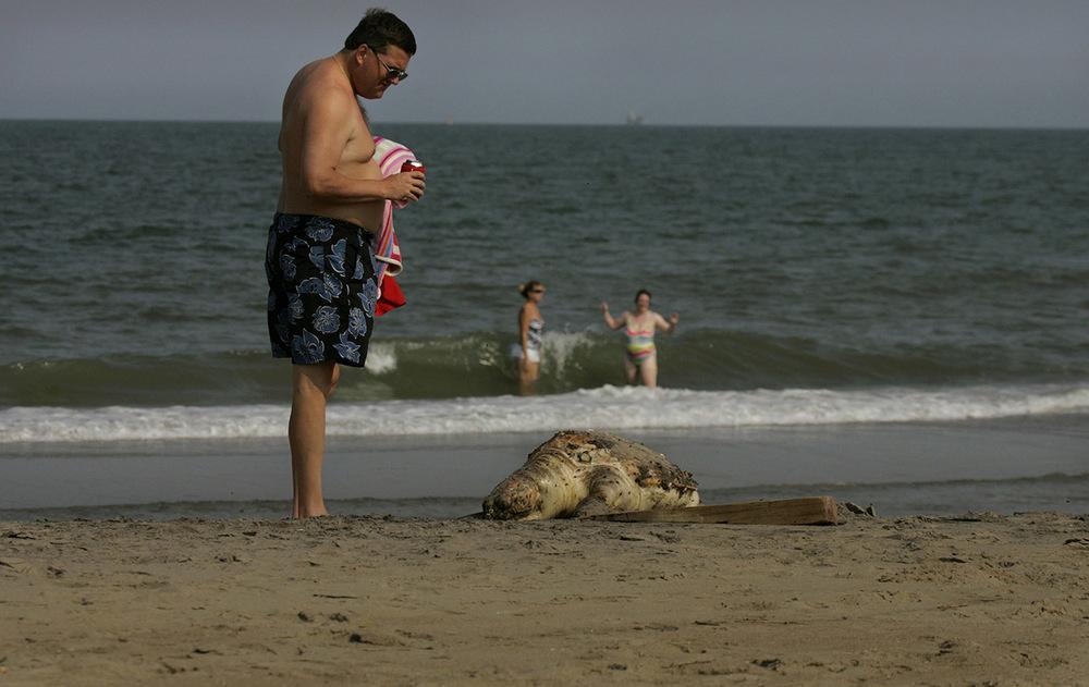 Dead sea turtle found on the beach in the sandbridge section of Virginia Beach, Virginia.