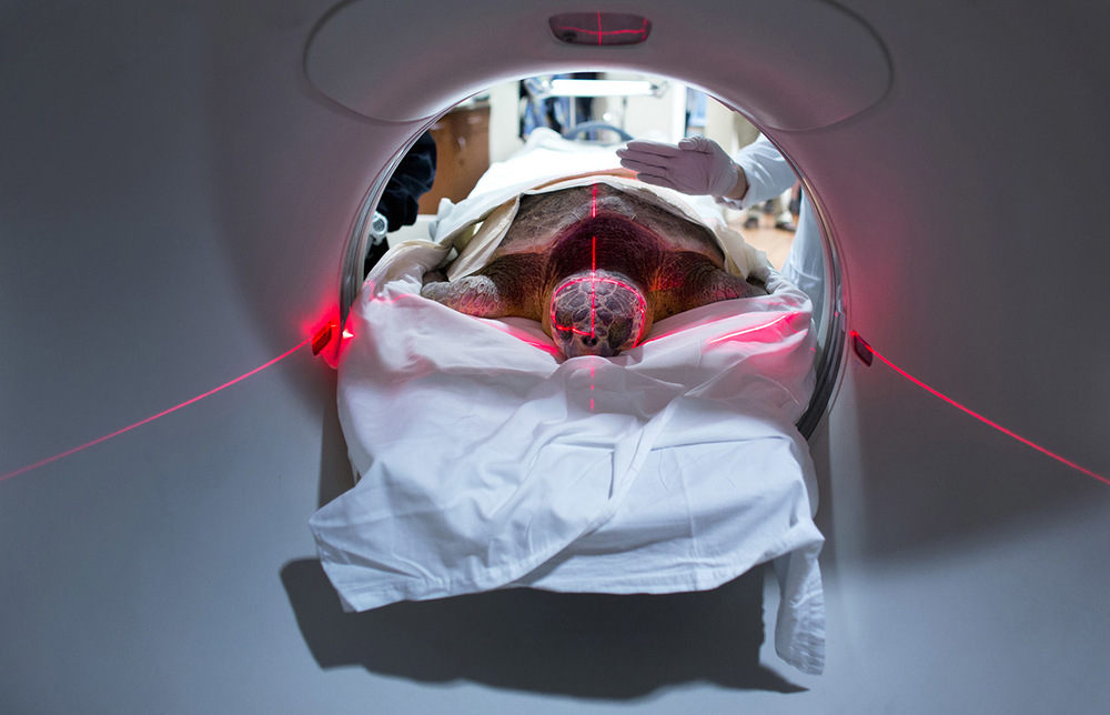 The CT scan of Wolverine, an injured loggerhead sea turtle being rehabilitated at the Virginia Aquarium in Virginia Beach, Virginia. The scan took place, at the Sentara Independence Advanced Imaging Center in Virginia Beach. The Virginia Aquarium Stranding Response Team wanted to check the extent of the turtles injury.