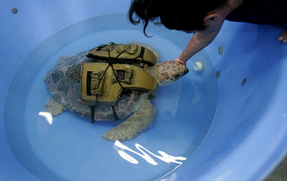 A turtle named Robin Leech being help by Virginia Aquarium Stranding Response Team, a lethargic and emaciated loggerhead covered with barnacles and leeches, found floating in the Hampton River.  The turtle died shortly after this photo was taken.