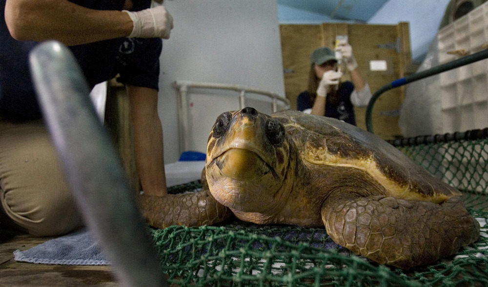 Wendy Walton and Maggie Cook with the Virginia Aquarium Stranding Response Team, treat Atlantis, a loggerhead sea turtle in their care, with antibiotics at the stranding center in Virginia Beach, Virginia.