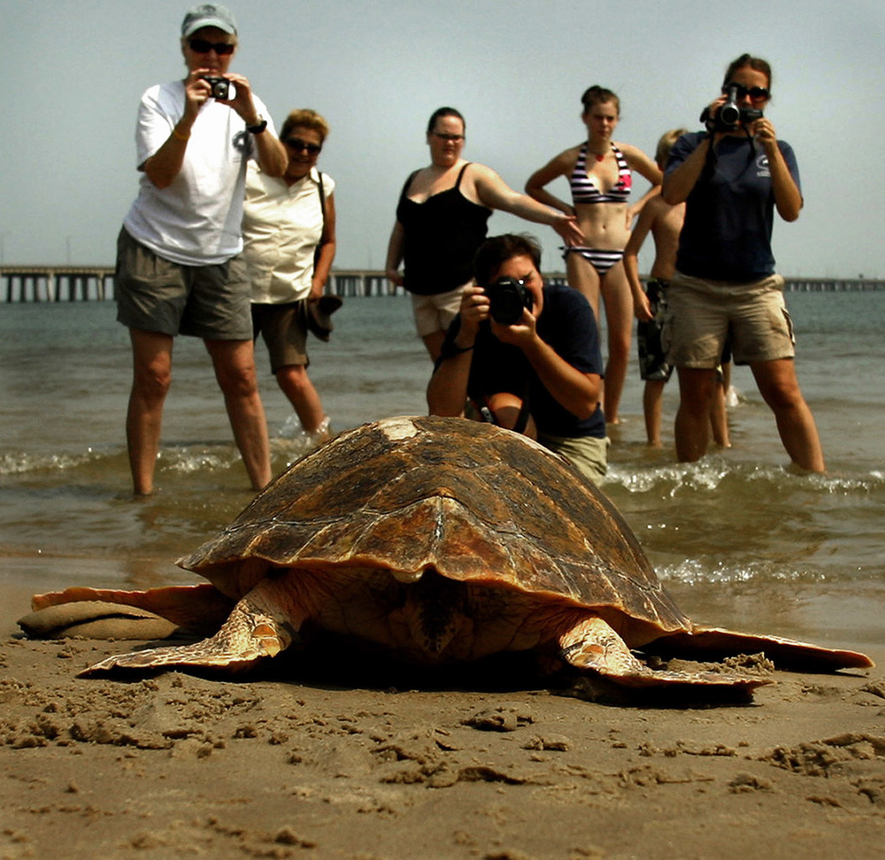 Virginia Aquarium Stranding Response Team released three rehabilitated sea turtles today, into the Chesapeake Bay near the Chesapeake Bay Bridge Tunnel. Two loggerhead sea turtles and one Kemp's ridley were released.