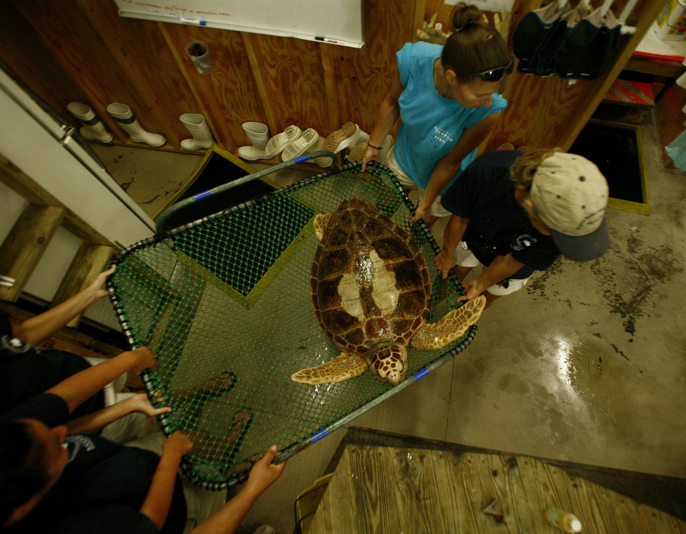 Virginia Aquarium Stranding Response Team released three rehabilitated sea turtles, into the Chesapeake Bay near the Chesapeake Bay Bridge Tunnel.