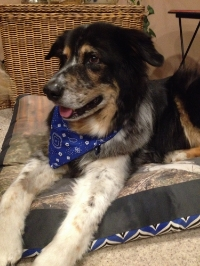 Bosley showing off his  Colorado Pet Pantry  bandanna.