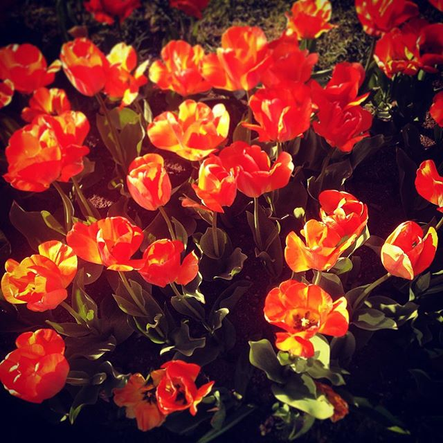 Post of the day!  #bostoncommon #flowers #tulips