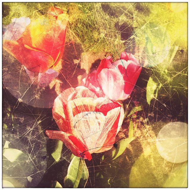 Fun with the Repix app - I call this Tulip Re-Mix #flowers