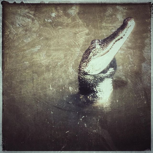 See you later alligator 🐊. #neworleans #bayou #swamp #alligator #animal #nature