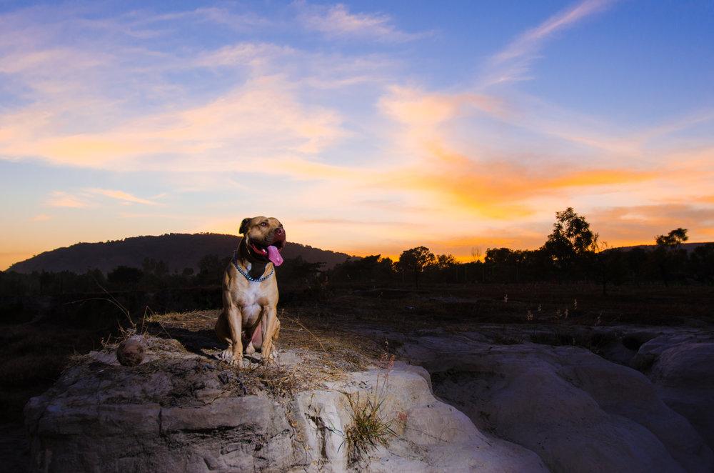pet pitbull portrait