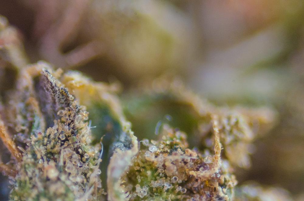 HOLLYWEED - Macro shot.