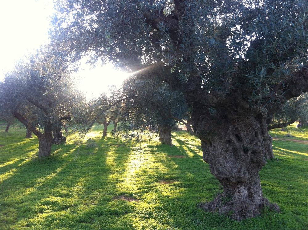 one of our private olive groves in messinia, GREECE