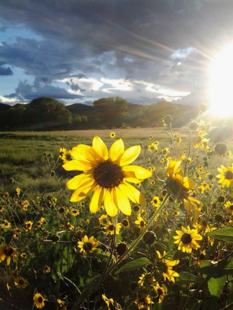 Sunflowers like these bloom profusely all over Prescott. I was out walking Smoky early one evening and the sunlight was just dipping over the mountain when I took this shot (using my Samsung Droid Smartphone). A perfect moment caught! -- Toni