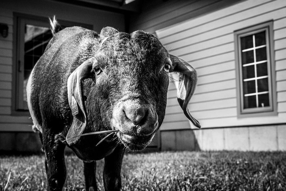 Goat+01.jpg