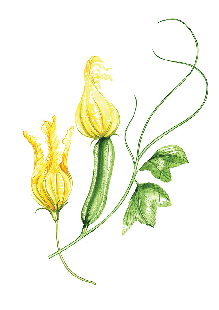 Willa Gebbie watercolour courgette flower food illustration for M&S, photography collaboration.