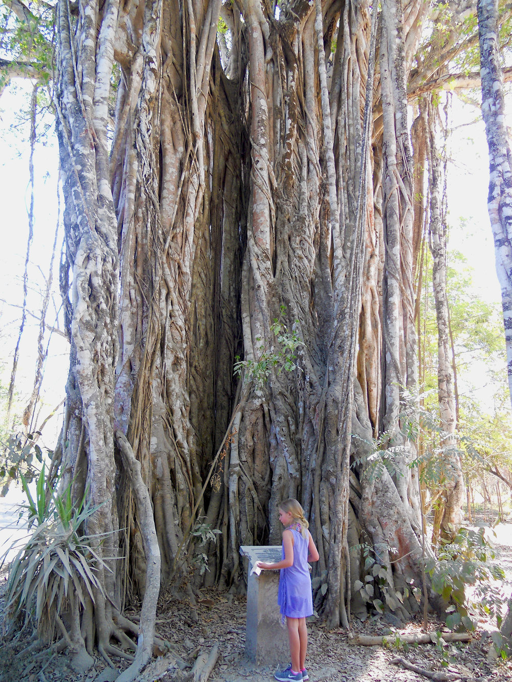 A massive Ficus, appears like a giant next to a little girl.