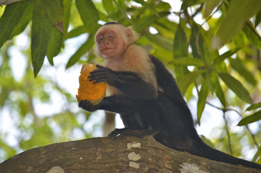 Howler mokey savoring a mango he found.