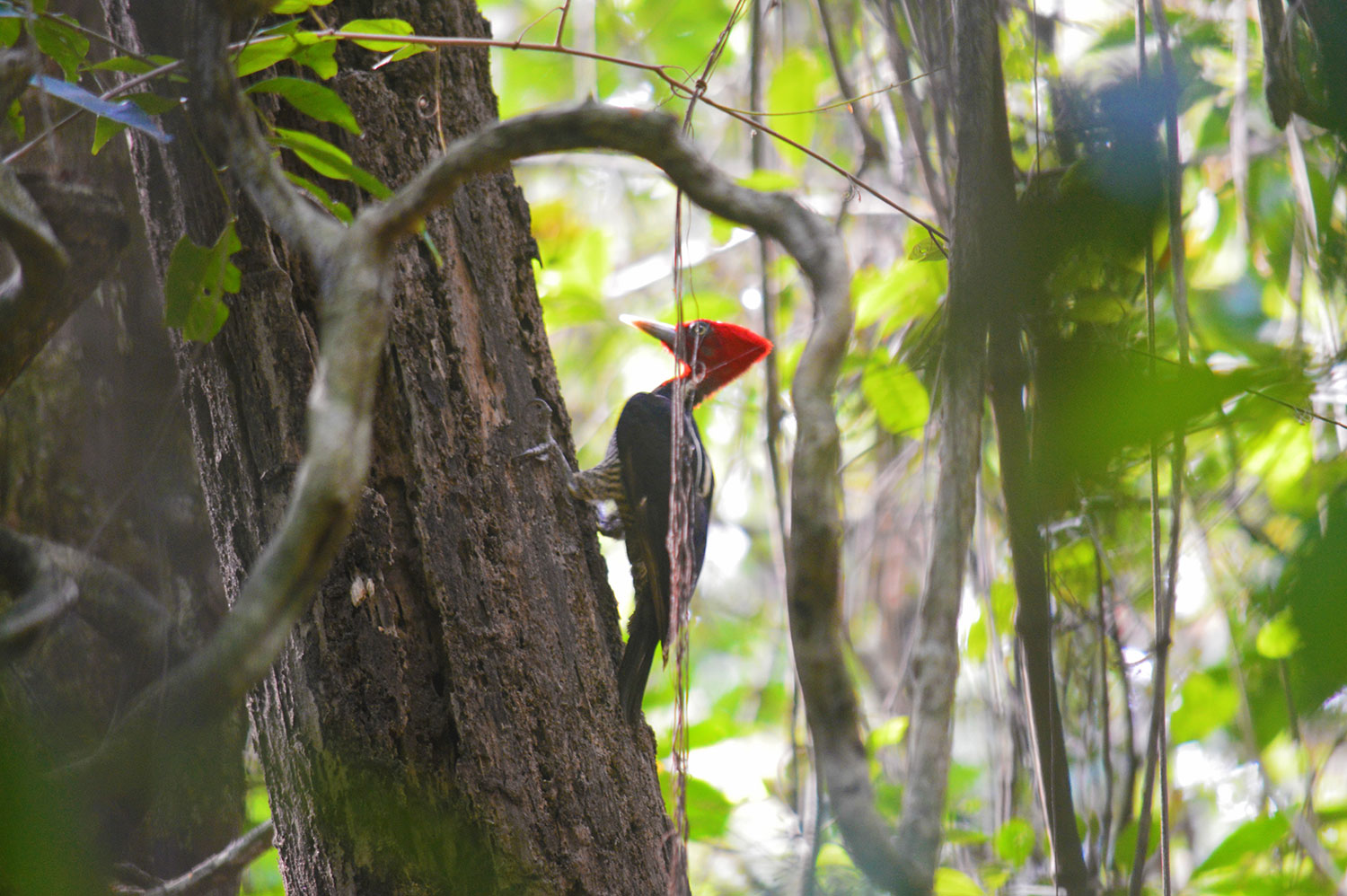 cabo-blanco-costa-rica-woodpecker.jpg