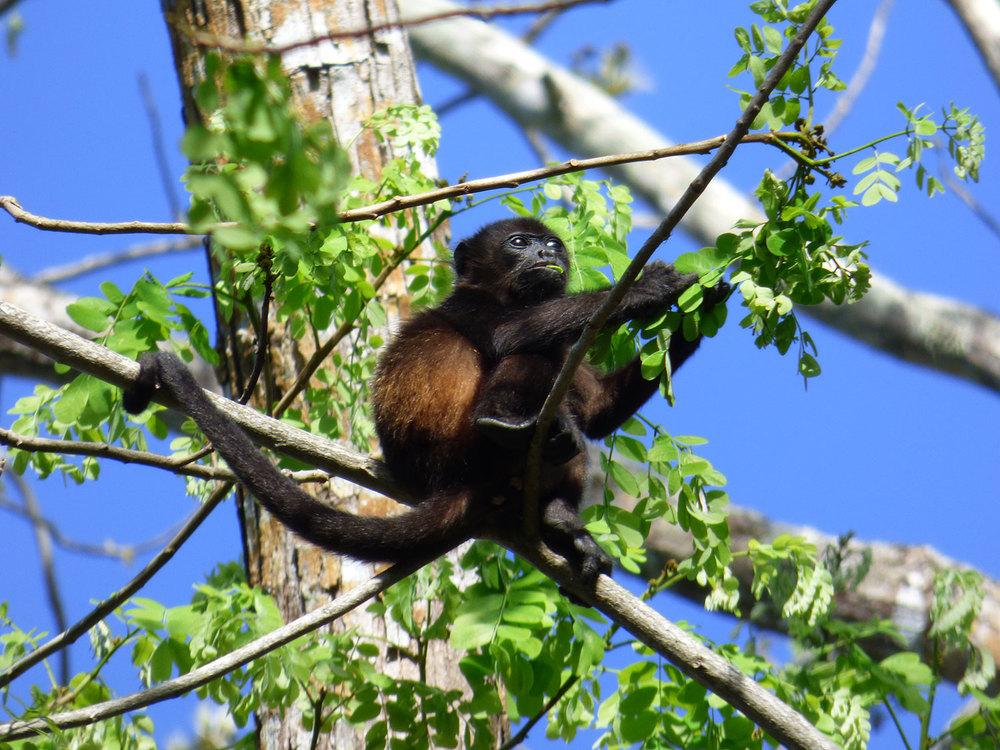 howler-monkey-cabo-blanco-national-park-cr-tour.jpg