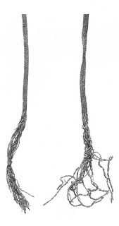 Fingerloop braids of 10 loops (left) and 14 loops (right), 13th and 14th centuries. Although these examples are more than 5 loops, several examples have been found from the excavations in London made of 5 loops, all dated to the 14th century.  Museum of London: Textiles and Clothing,   pg 139 .