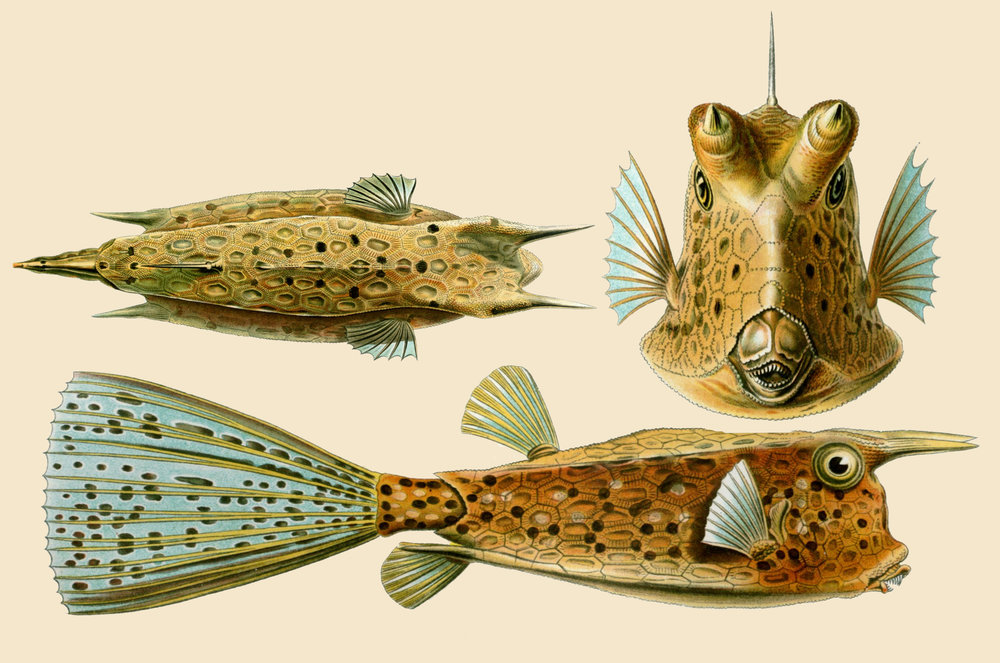 Amazing-Beautiful-Old-Biology-Science-Drawings-1904-by-Ernst-Haeckel-Fishes.jpg