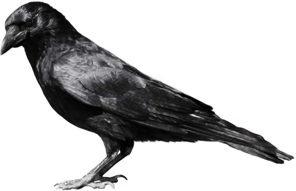 crow_PNG3114.png