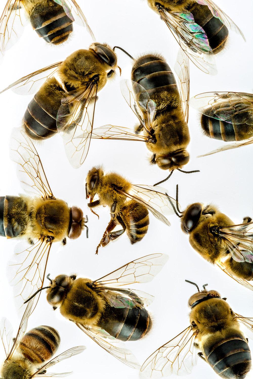 MecklerPhoto_studio-Bees-25_F.jpg