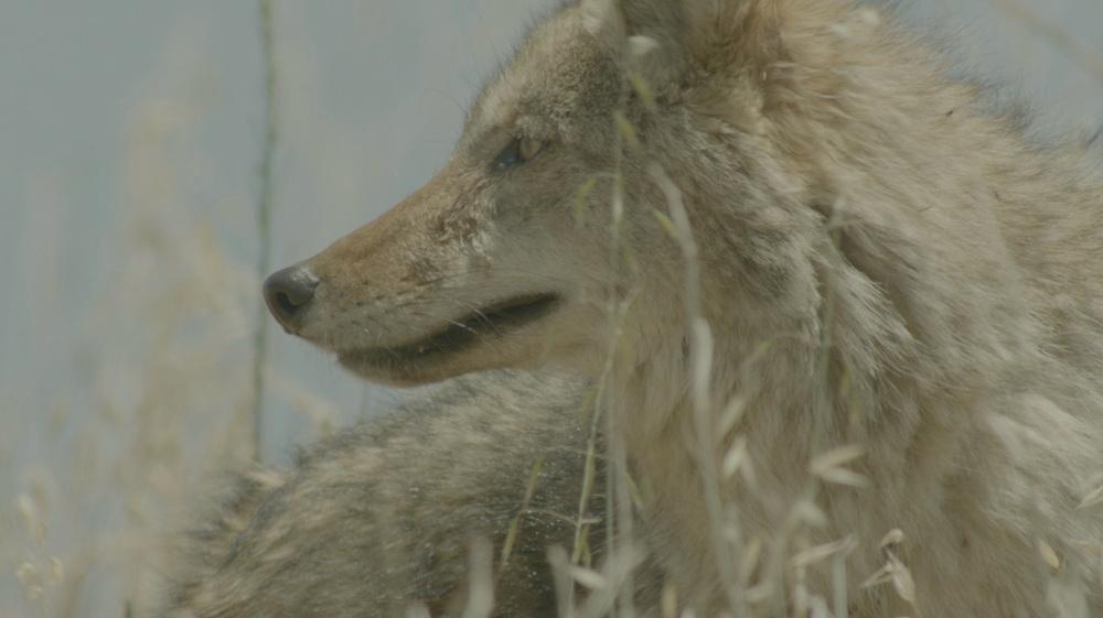 coyote-1.jpg