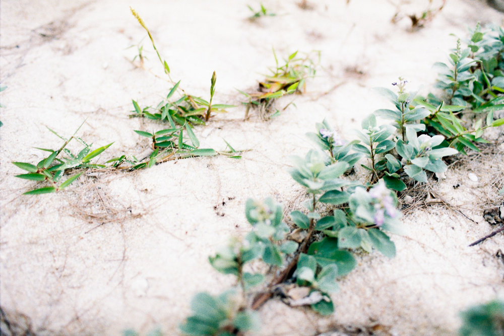 flowering beach vines - 35 mm film - kodak gold - kuala lumpur photographer erica knecht