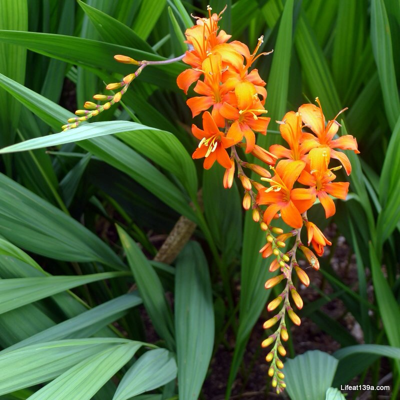 Usual service restored, an orange crocosmia.