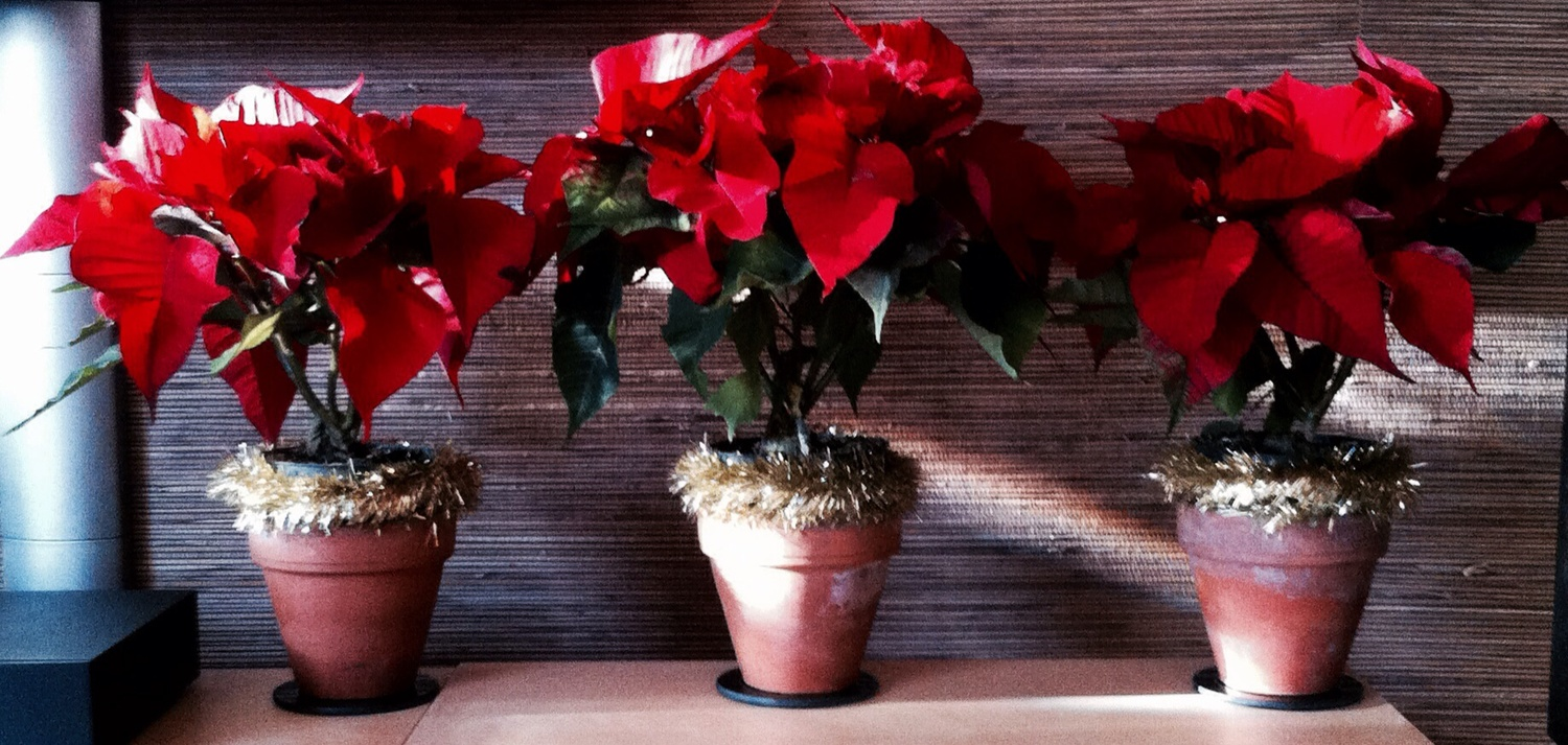 Poinsettas, our Christmas Tree & more wreaths