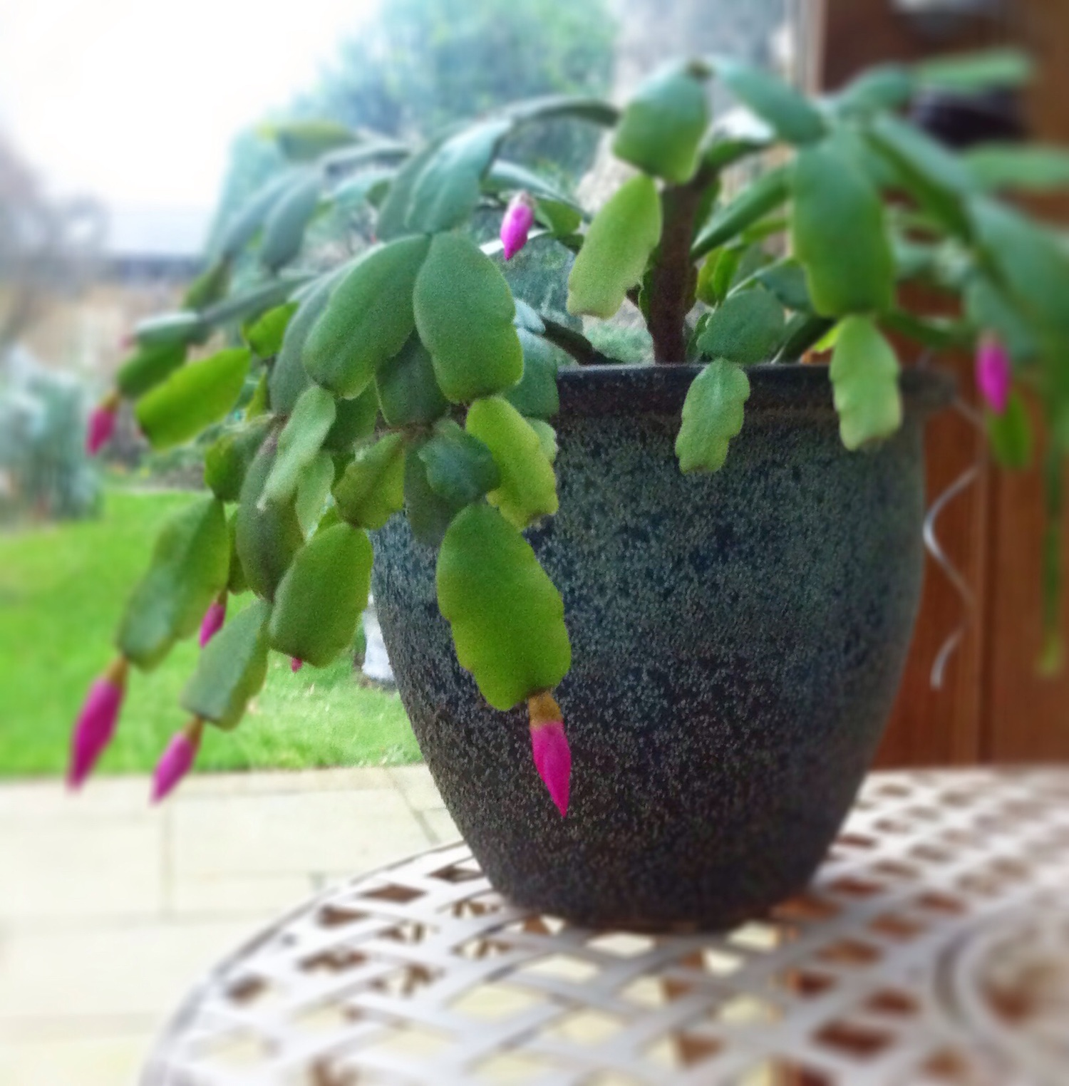 My Schlumbergera and other houseplants