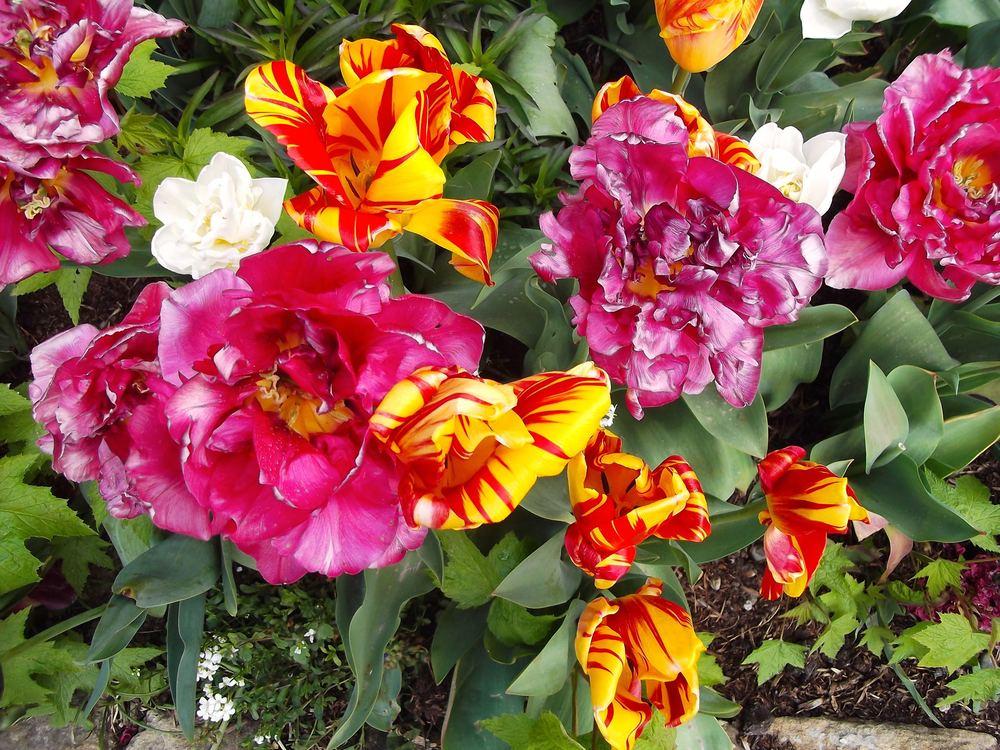 standen_tulip_festival3.jpg