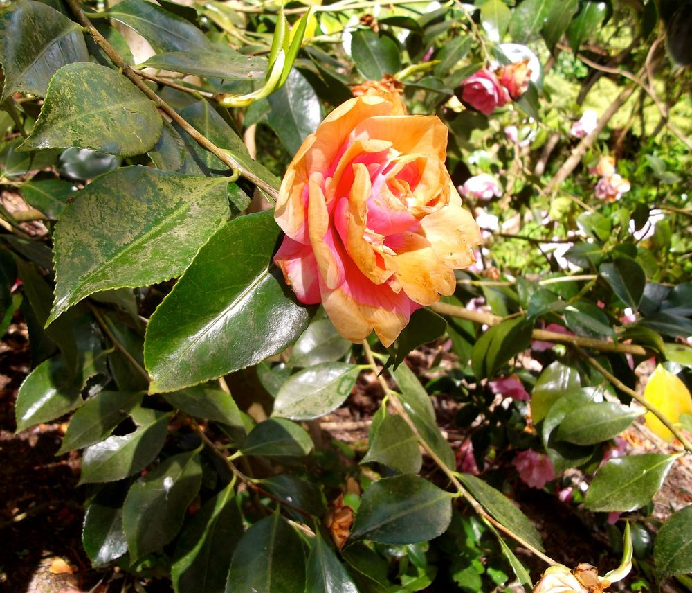 Standen_faded_camellia.jpg