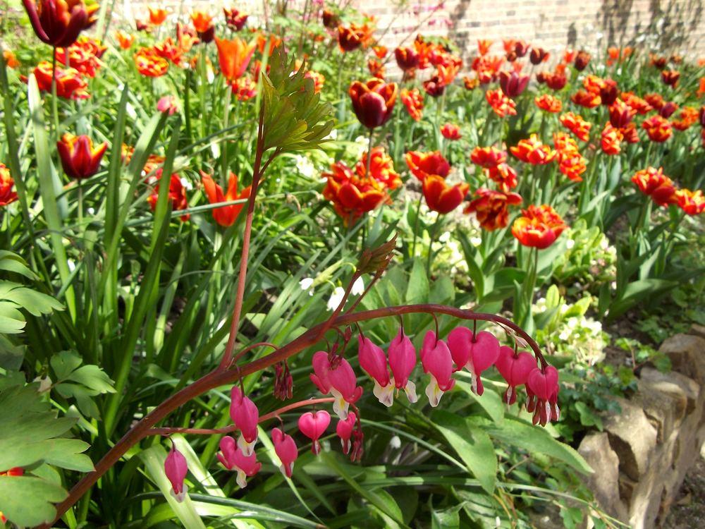 standen_tulip_dicentra.jpg