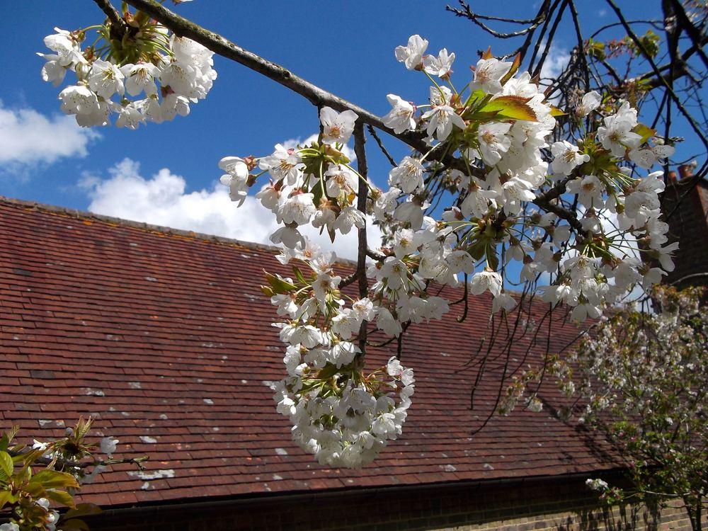 Standen_blossom.jpg