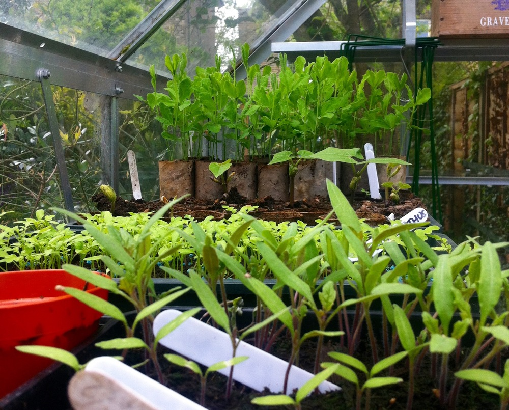 TOMATO SEEDLINGS, SCHIZANTHUS ANDDWARF BEANS BEHIND & SWEET PEAS