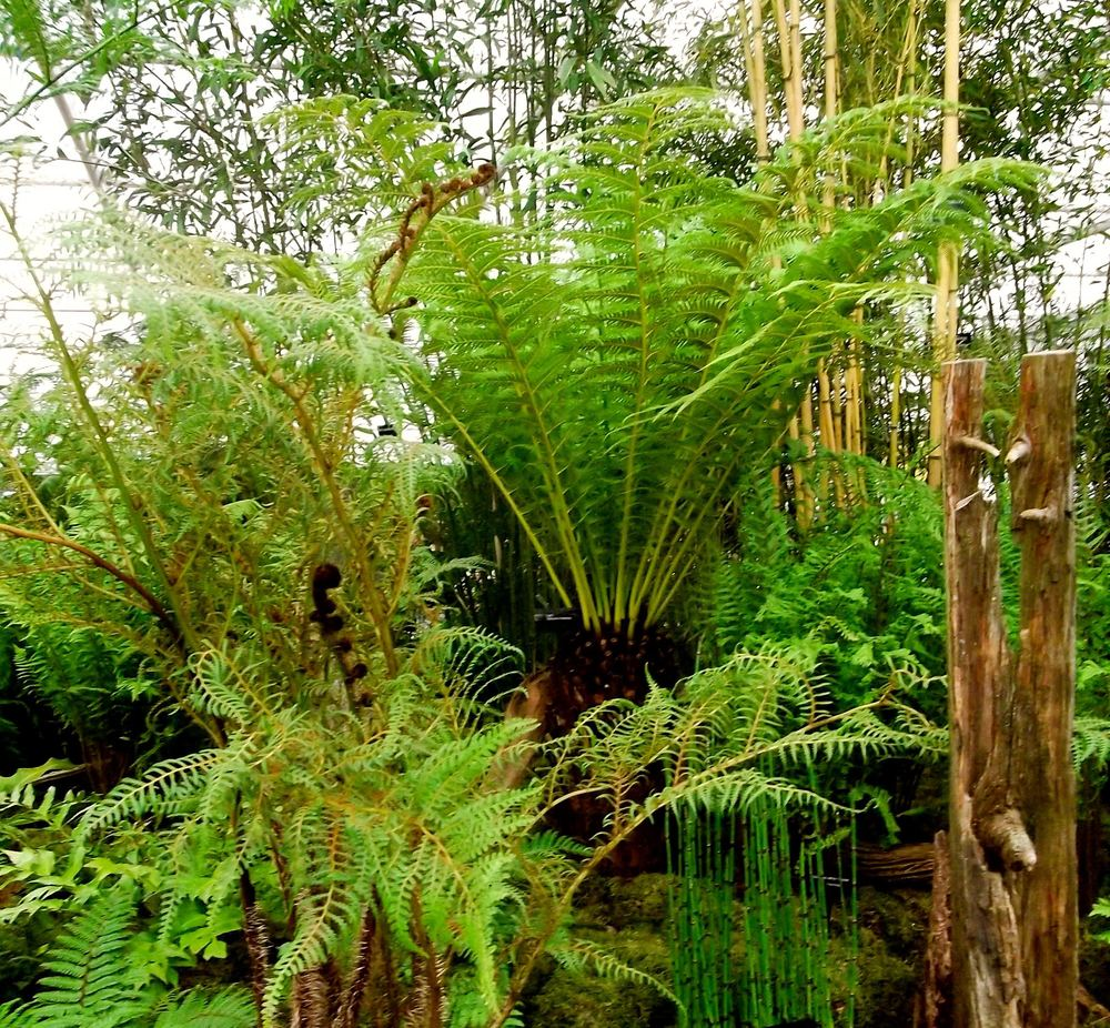 tree ferns at the chelsea flower show.jpg