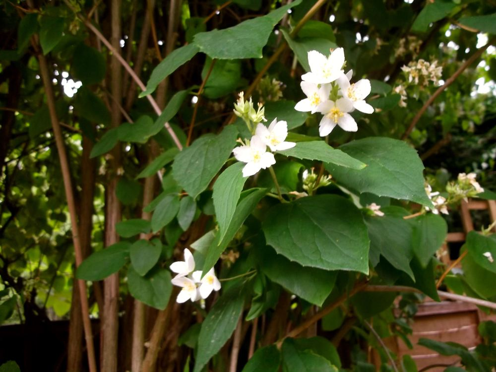 THE MOCK ORANGE IS ALL BUT DONE