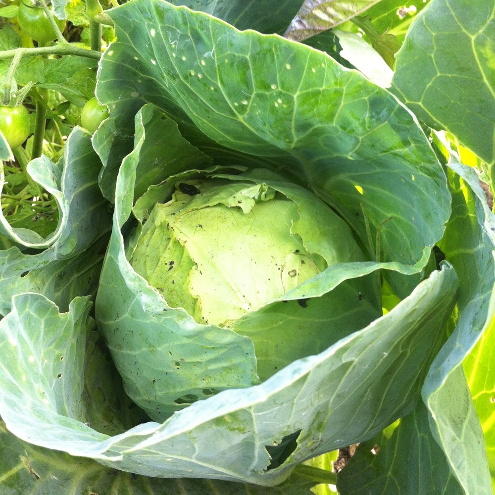 MY CABBAGE, LOOKING LIKE A WELL LOOKING LIKE A CABBAGE!