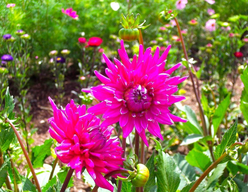 pinkdahlia.jpg
