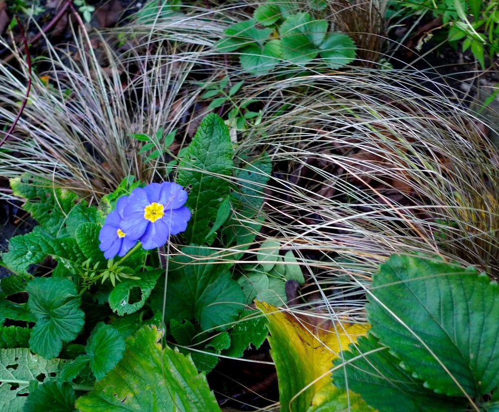 blueprimrose.jpg