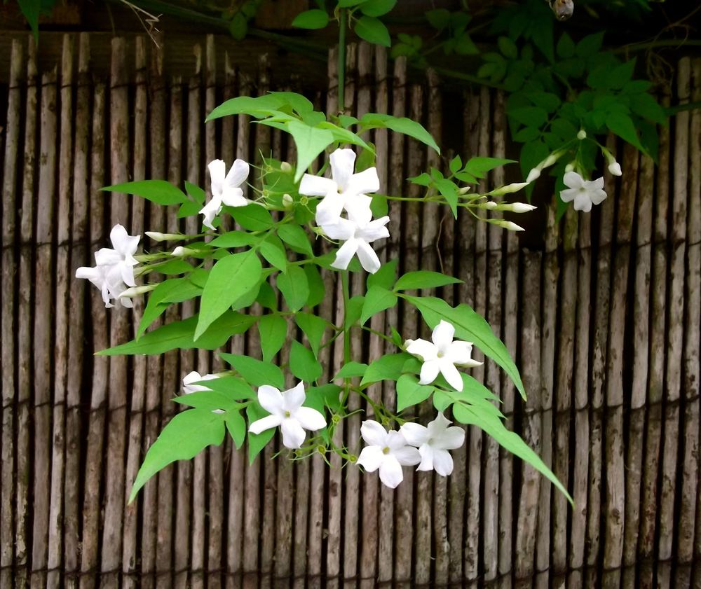 July: Heady Jasmine Love