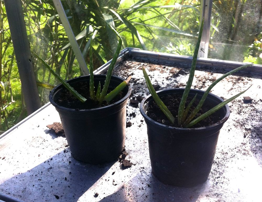 two aloe veras