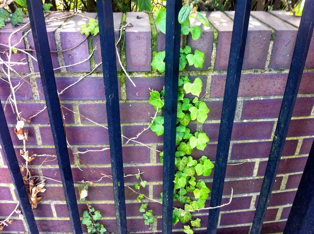 caged ivy
