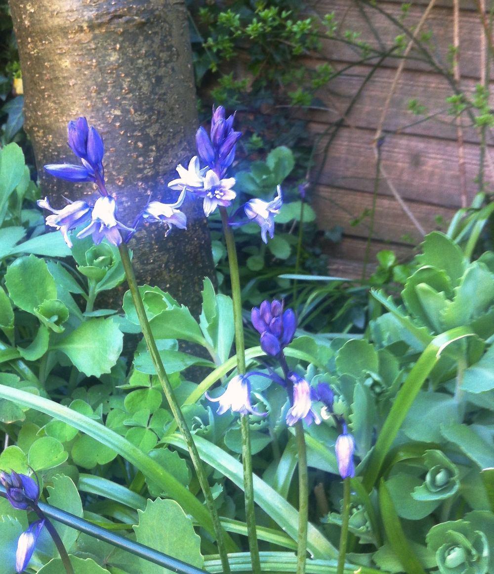 bluebells by the laburnum