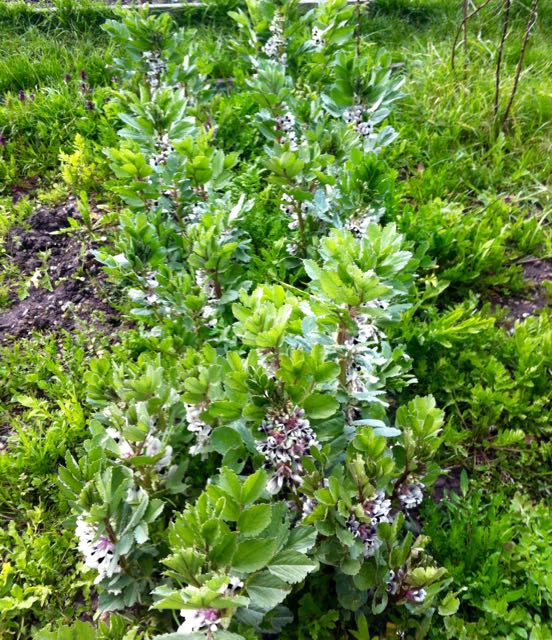 overgrown broad beans