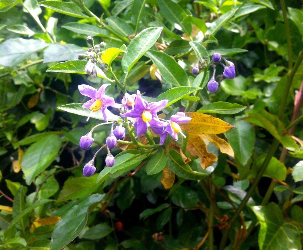 CHILEAN POTATO PLANT