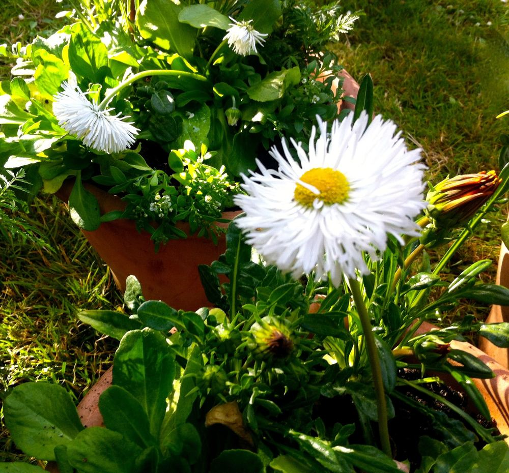 A close up of the white bellis