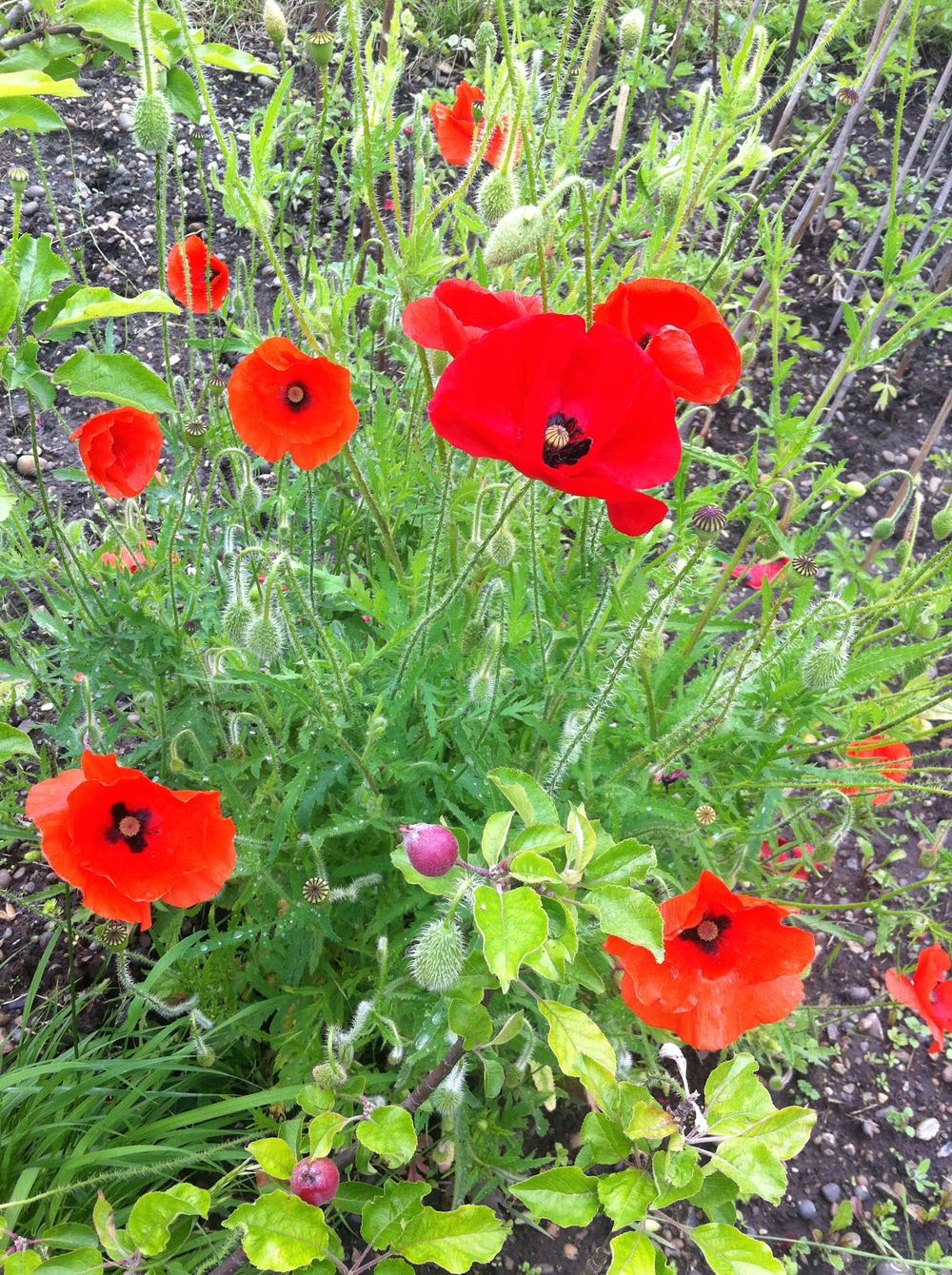 The poppies on our allotment were just as good as any we'd seen in France