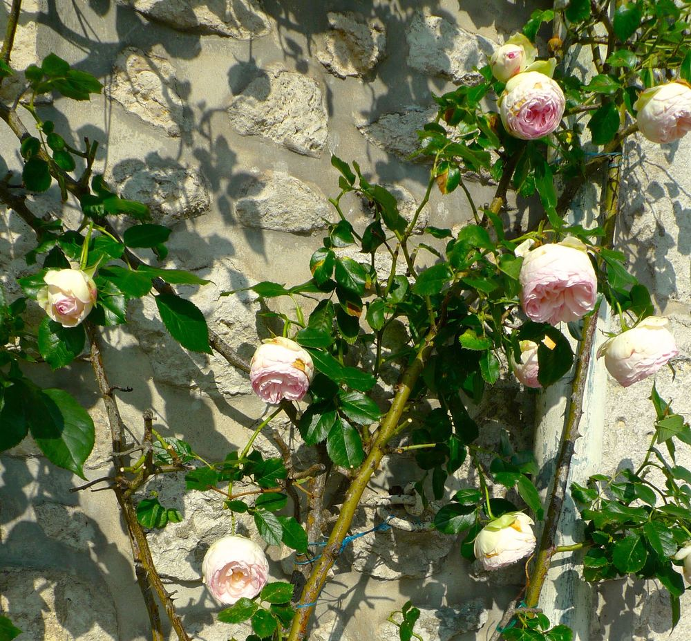 climbing fragrant pale pink roses