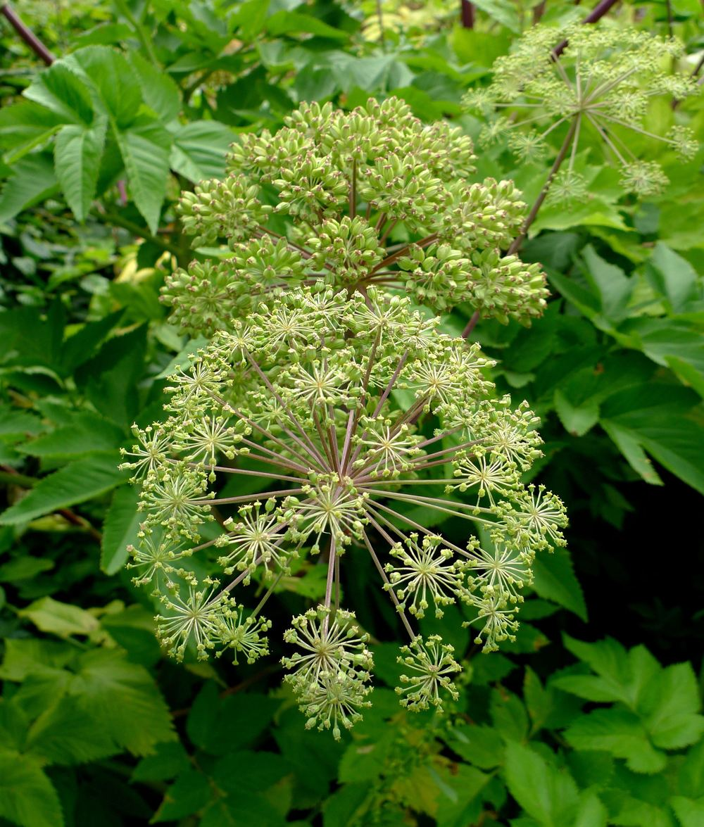 Angelica flowers at Hyde Hall in Essex
