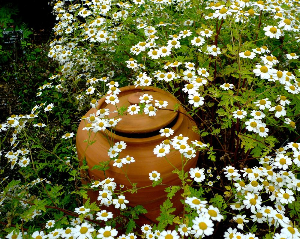 Daisy-like flowers surrounding a terracotta pot